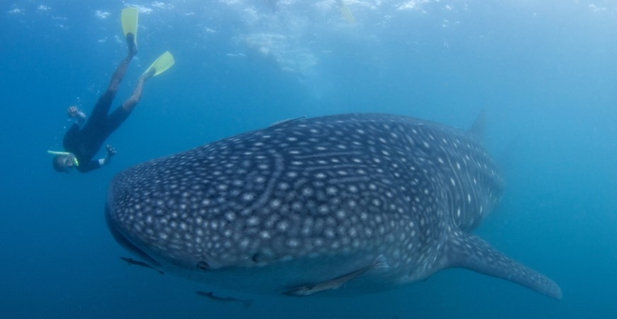 Swim with Whale Sharks at Donsol